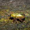 Edusella Leaf Beetle