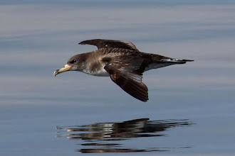 Photo: Cory's Shearwater