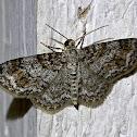 Unadorned carpet moth