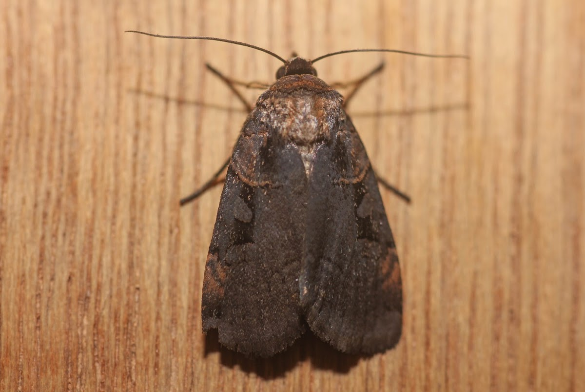 Pink-spotted Dart Moth