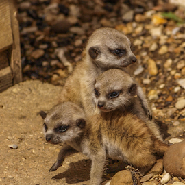 Meerkats by Garry Chisholm - Animals Other Mammals ( nature, mammal, pup, meerkat, garry chisholm )