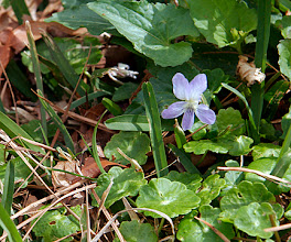 Photo: Viola sororia -- Violet. The violet of the Shreveport flood-plain. On -site native.