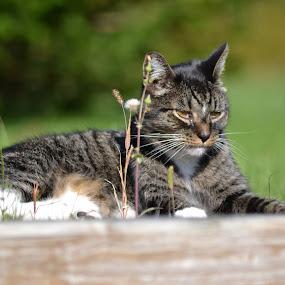 Stryper by Moe Cusick - Animals - Cats Portraits (  )