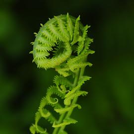 Awakening by Shannon Mitchell - Nature Up Close Other plants ( green, inthespring, fern, greenfern, awakening, monthofmay, simplicity, springlife, fiddleheadfern )