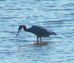 Photo: Llittle blue heron, adult  San Diego River at Mission Bay