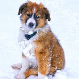 English Shepherd Puppy - 3 by Twin Wranglers Baker - Animals - Dogs Puppies (  )