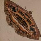 Indian Owlet-moth