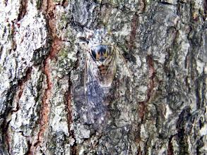 Photo: MIMETISME La cigale grise sur un tronc de pin. Super camouflage !