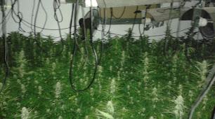 Imagen de la plantación de marihuana hallada por los bomberos.