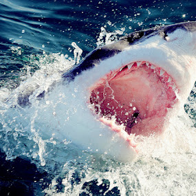 Great white shark by Gregor Dinghauser- Dingo - Animals Fish ( pwcmovinganimals )