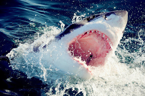 Great white shark by Gregor Dinghauser- Dingo - Animals Fish ( pwcmovinganimals )