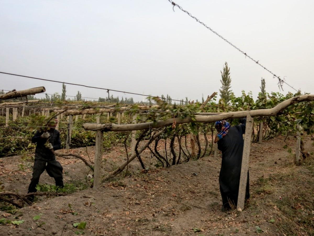 China. Xinjiang Turpan . Vineyards owners pulling the vines down