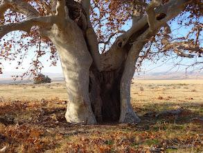 Photo: California Sycamore (Plantanus racemosa) - Greg Smith