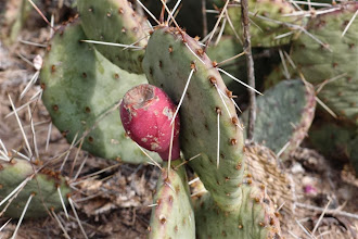 Photo: Everywhere, the prickly pears had their fruits.