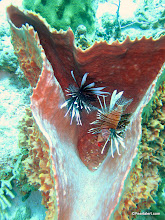 Photo: Lionfish are an invasive species...they have no natural predators in the Caribbean...