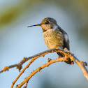 Anna's Hummingbird, Juvenile Male