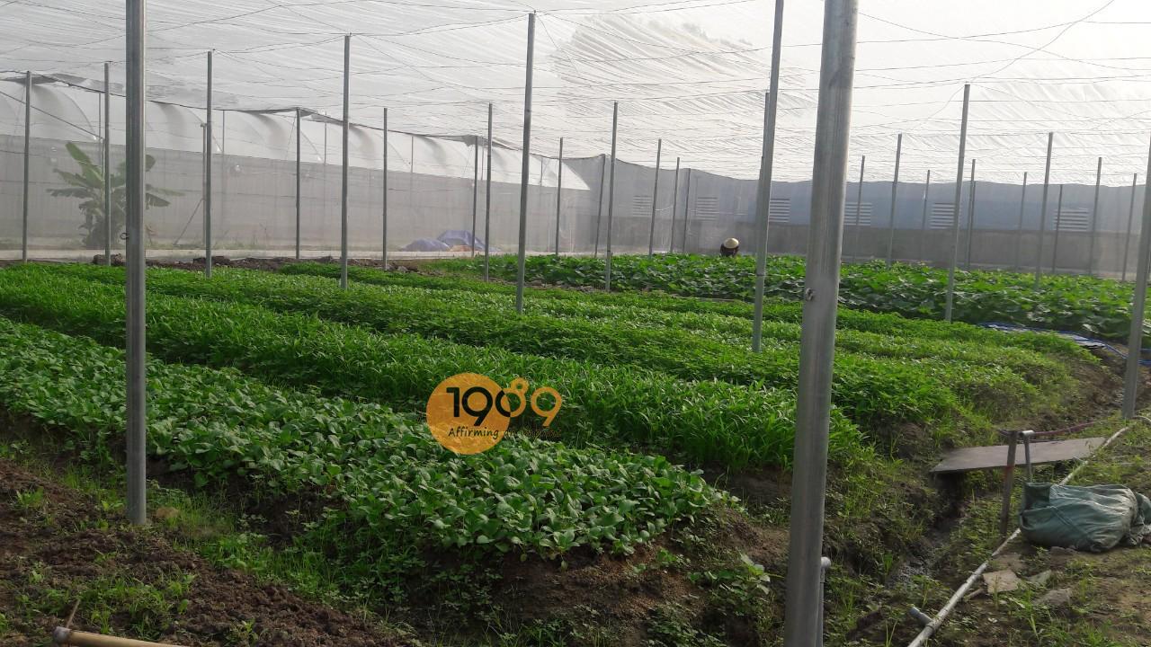 phân trùn quế trồng rau