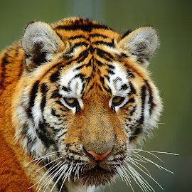 by Gérard CHATENET - Animals Lions, Tigers & Big Cats