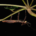 Stick Insect, Phasmid - Female, Tiny Asceles