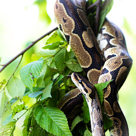 Posing by Deborah Murray - Animals Reptiles ( python, green, color, outdoors, daylight, outside, snake, tree, animal, reptile,  )