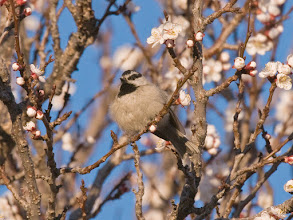 Photo: Chickadee in blossoming apricot tree