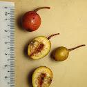 Allutacea Fig