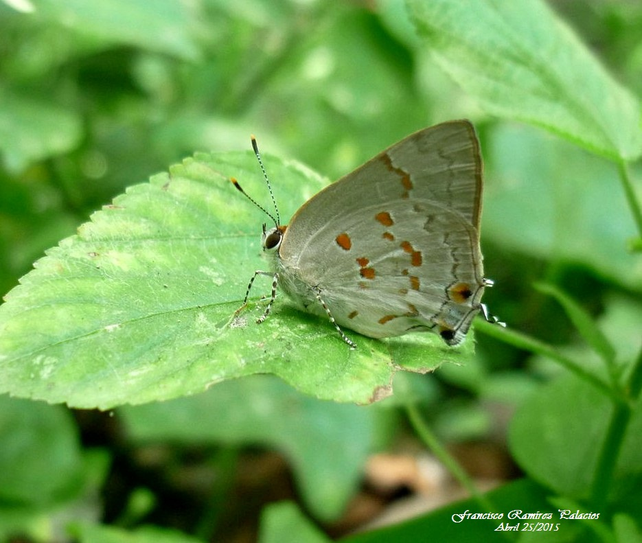 The Red-Spotted Hairstreak