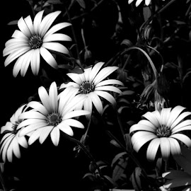 Whites in black by Gil Reis - Black & White Flowers & Plants ( macro, flowers, nature, portugal, bio, life )