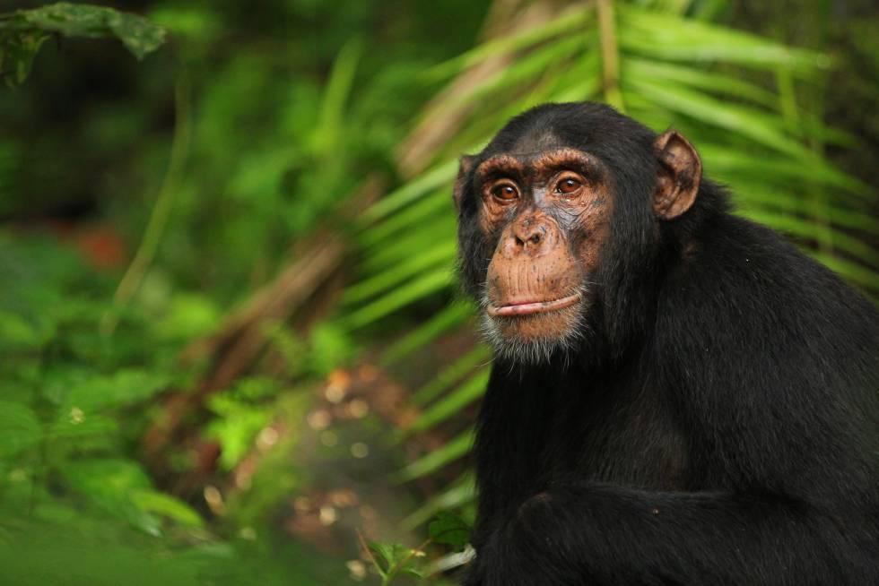 Un chimpancé en el Parque Nacional de Kibale, en Uganda.