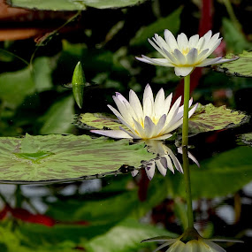 nénuphar, Belgique by Ramade Genevieve - Flowers Flower Gardens (  )