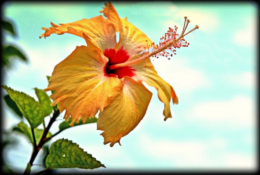 Flower In the Garden by Sudipto Chakraborty - Flowers Flower Gardens ( blue sky, sky, hibiscus, petals, yellow, garden )