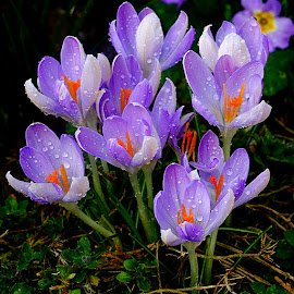 Crocus corsicus by Gérard CHATENET - Flowers Flower Gardens