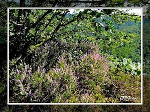 Photo: Callune (Calluna vulgaris) sur la crête rocheuse
