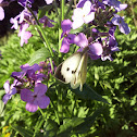Large white, cabbage butterfly, cabbage white, cabbage moth/Белянка капустная