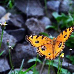 common butterfly by Dhannie Setiawan - Animals Insects & Spiders ( orange, up close, butterfly, nature, green, insects )