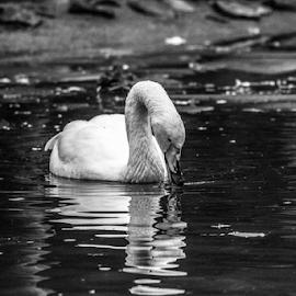 Swan by Garry Chisholm - Black & White Animals ( nature, lapland, bird, water, whooper swan, ranua, finland, garry chisholm )