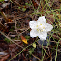 Marsh Grass-of-parnassus