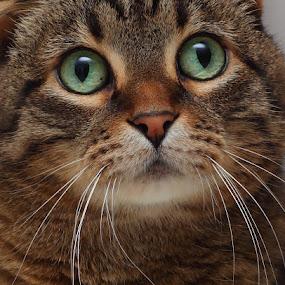 Pretty Girl by Pam Mullins - Animals - Cats Portraits ( cat, green, fuzzy, pet, scottish fold, cuddlie, feline, tabby, friend, mammal, eyes, soft,  )
