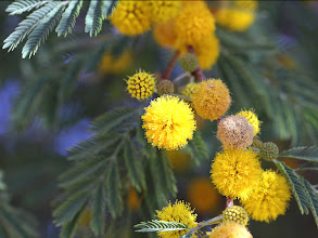 Photo: Centered Acacia Farensiana Flower