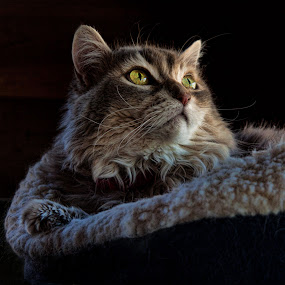 Jenny by Curtis Jones - Animals - Cats Portraits