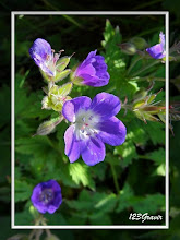 Photo: Géranium des forêts, Geranium sylvaticum