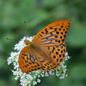 Silver-washed Fritillary(male)