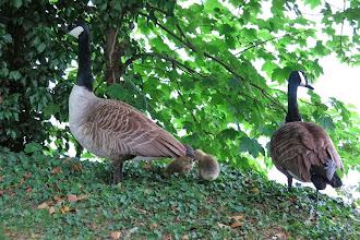 Photo: Couple d'oies sauvages du Canada protégeant leurs petits de toute tentative d'approche