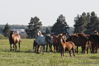 Photo: Look closely, and you'll notice most of these horses are hobbled...hadn't seen that before, myself