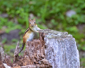 Photo: Chipmunk says hello  at Townshend State Park by Linda Carlsen-Sperry