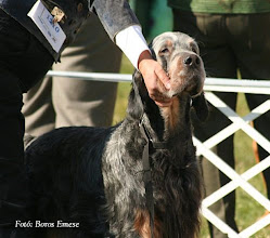 "Photo: CHANCY BACARDI OF SAINT-MARTIN ""ALEX""    2004. április 15. - 2009. június 14. http://www.patrician.hu/kennel/bacardi.html"