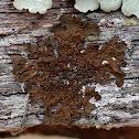 Abraded Camouflage Lichen