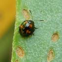 Staghorn Fern Beetle