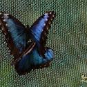 Peleides Blue Morpho