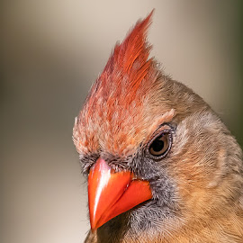 Northern Cardinal by Don Young - Animals Birds ( close up, nature, northern cardinal, bird photography, birds, portrait )